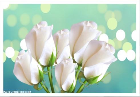 imagenes de rosas blancas para descargar